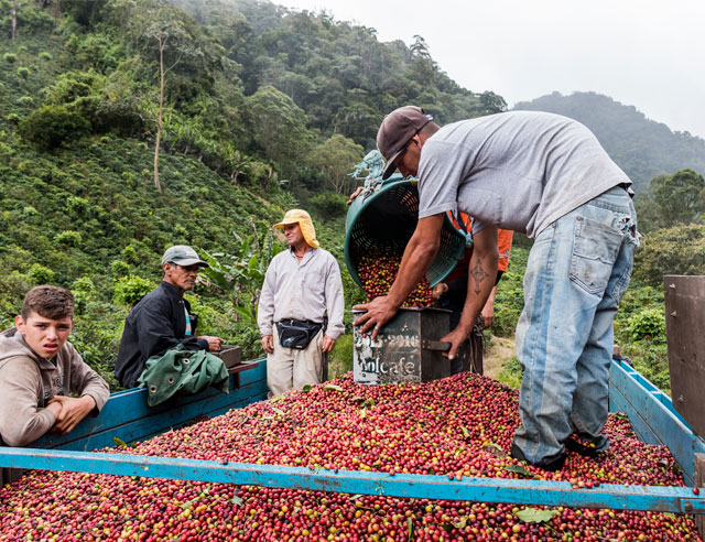 Coffee harvest weigh-in (la medida)