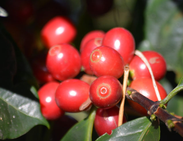 not-all-your-coffee-cherries-are-red