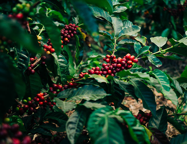 Ripe red coffee cherries on coffee plant