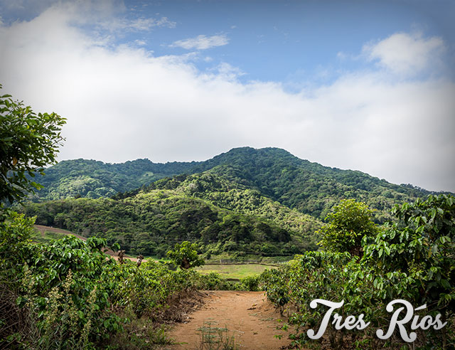 Coffee plantations with mountains behind