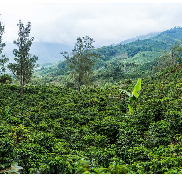 Coffee plantation in Tarrazú