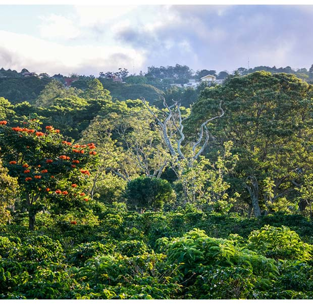 Native trees protecting the coffee plants