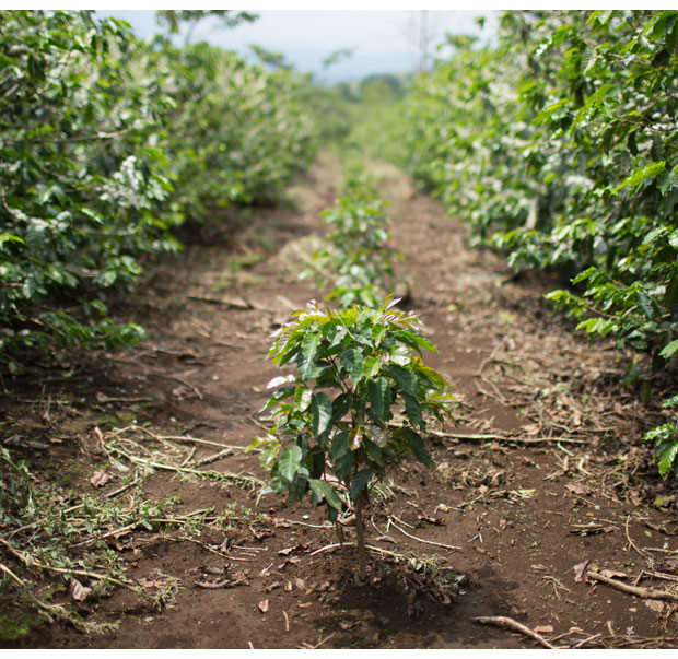 Young coffee plants at Finca La Guaria
