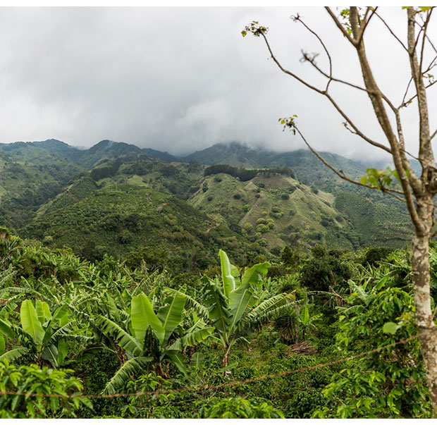 Plantain trees protecting the coffee plants