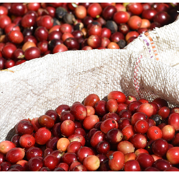 Handpicked coffee cherries