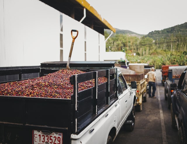 Truck with ripe coffee beans