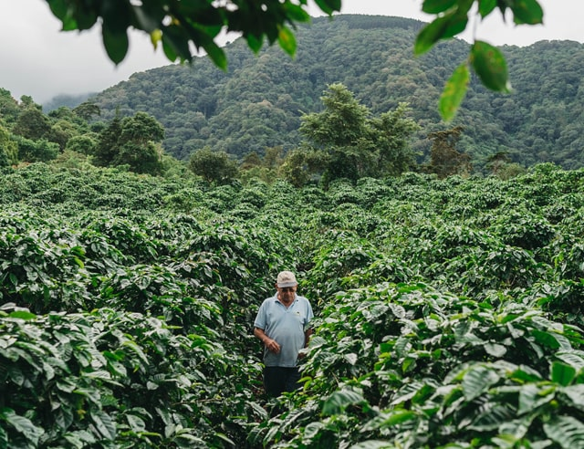 Man in coffee plantation