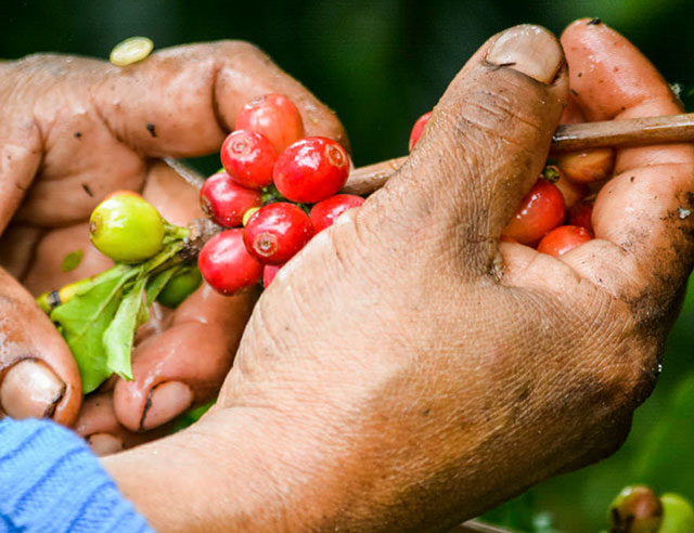 Close-up of person picking coffee cherries