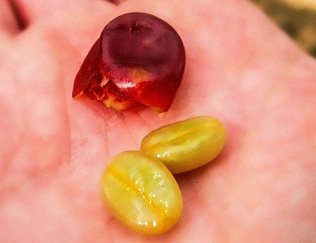 Coffee cherry with seed removed