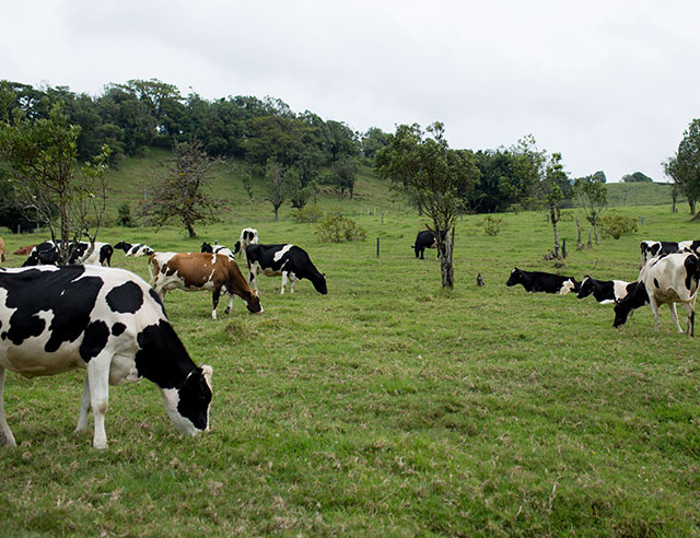 Dairy cows in a field