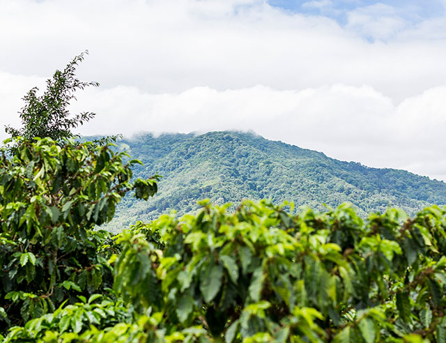 Coffee plants with mountain in the background