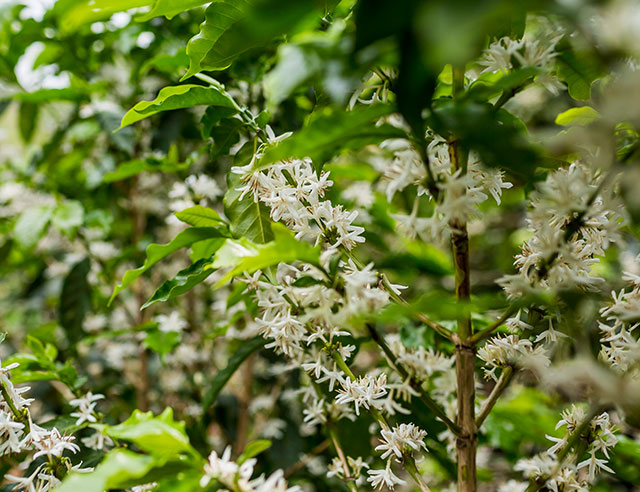 Coffee plant with white flowers