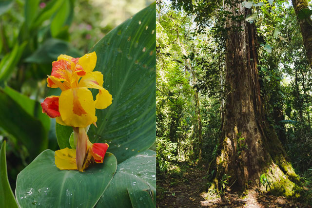 Red and yellow Canna flower and tall tree in forest
