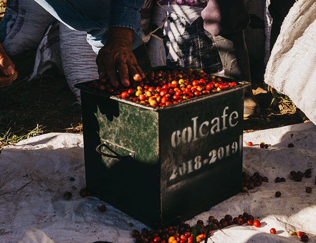 Ripe coffee cherries in large basket