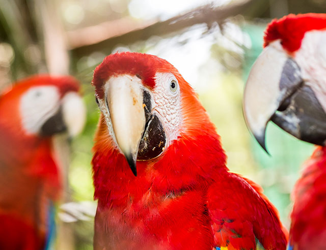 Three scarlet        macaws