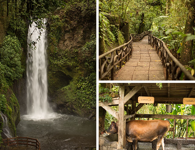 La Paz Waterfall, forest trail, and cow
