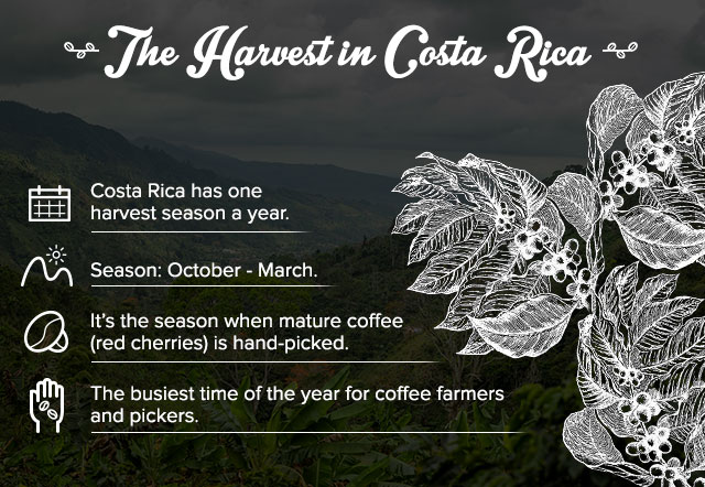 Infographic about harvest season in Costa Rica