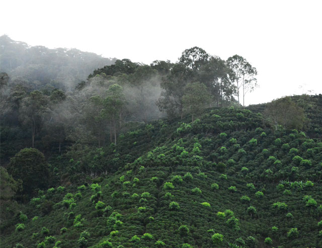 Coffee plantation in the Orosi Valley