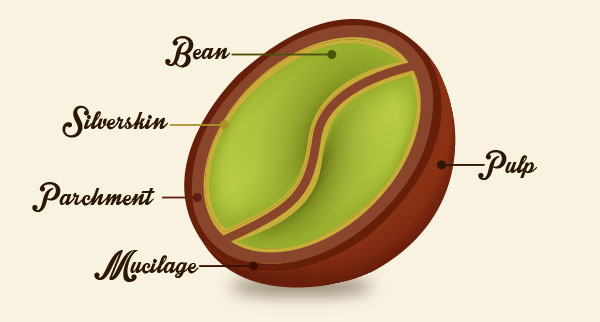 Drawing of the parts of a coffee bean