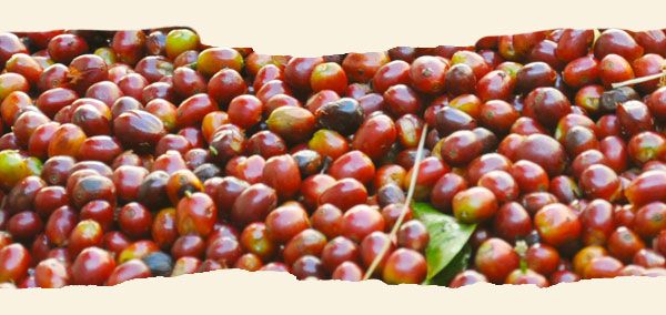 Red coffee cherries