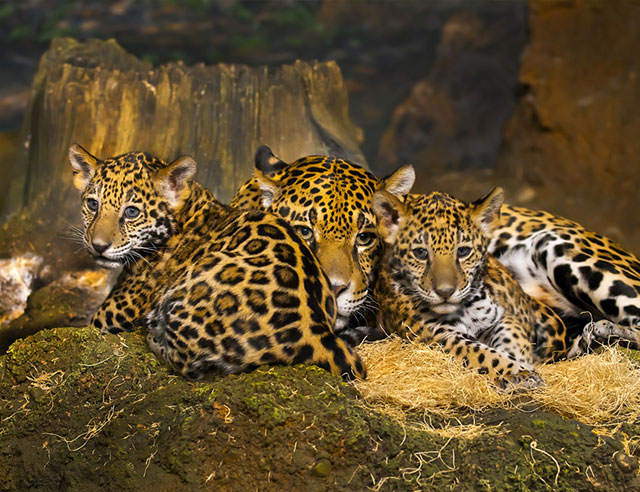 Adult jaguar and two baby jaguars