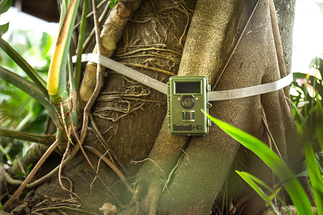 Bushnell wildlife camera strapped onto tropical tree