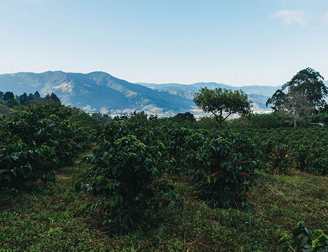 Coffee plants with ripe red cherries