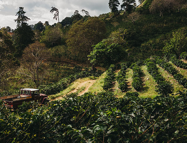 Rows of coffee plants