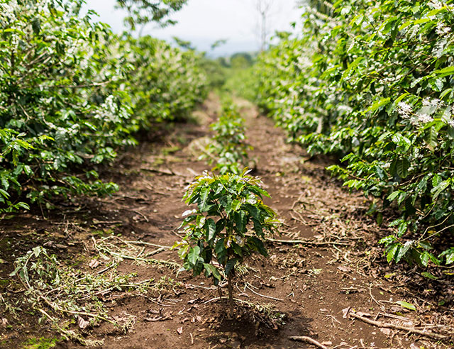 Row of coffee plants
