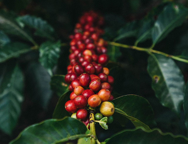 Bunch of coffee cherries on a branch
