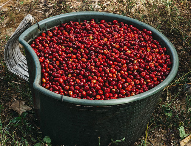 Basket and ripe red coffee cherries