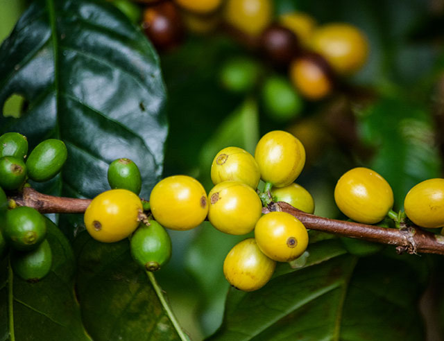 Green and yellow coffee cherries on a branch