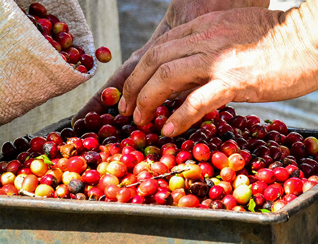 Person arranging red coffee cherries