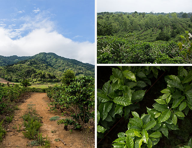 Coffee plantation and plants