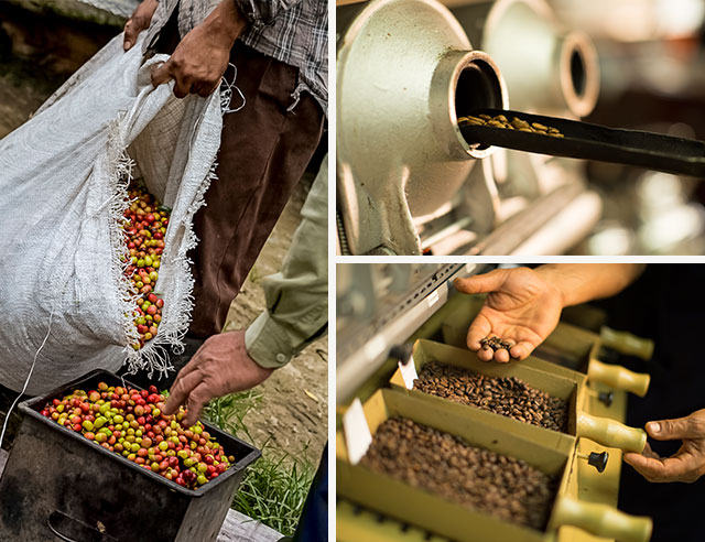 Person with ripe coffee cherries and roasted coffee beans