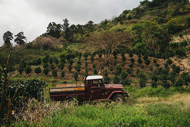 Pick-up in coffee plantation
