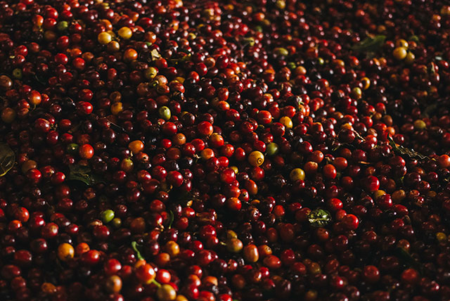 Ripe red coffee cherries