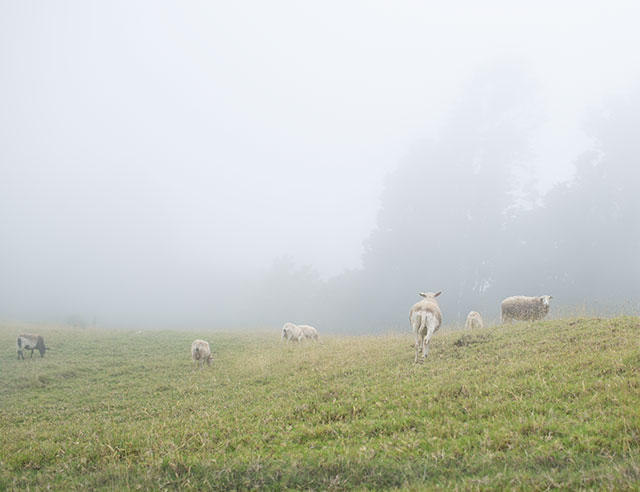 Cows on grass in the mist