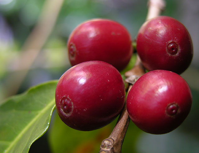 Close-up of red coffee cherries