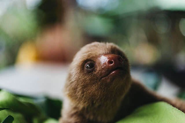 Baby sloth looking up