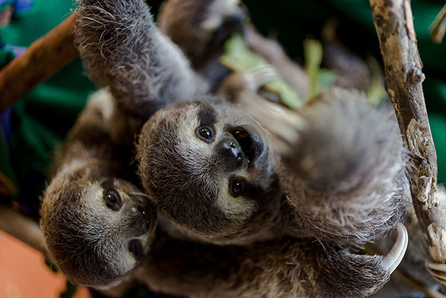 Two baby three-toed sloths hanging from a branch