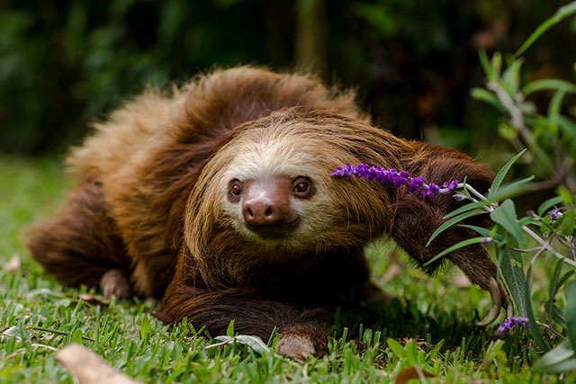 Two-toed sloth crawling