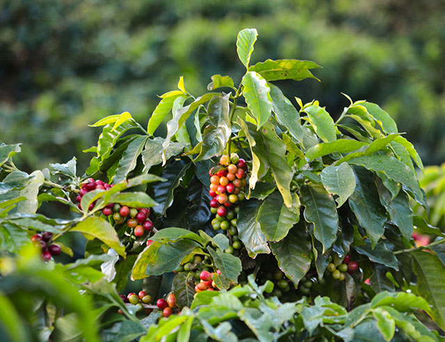 Coffee plants with ripe cherries