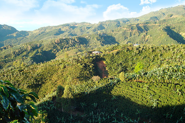Coffee fields from above