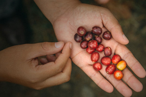 Red coffee cherries in a person's hand