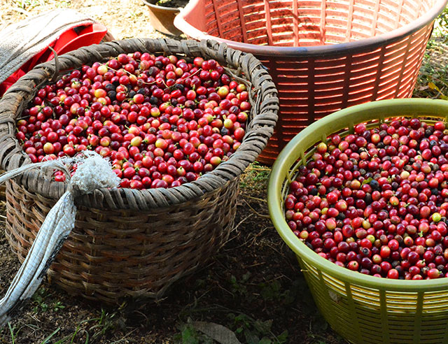 Ripe coffee cherries in large baskets