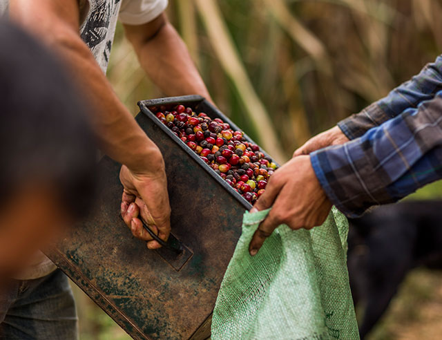 People dumping harvested coffee cherries into a bag