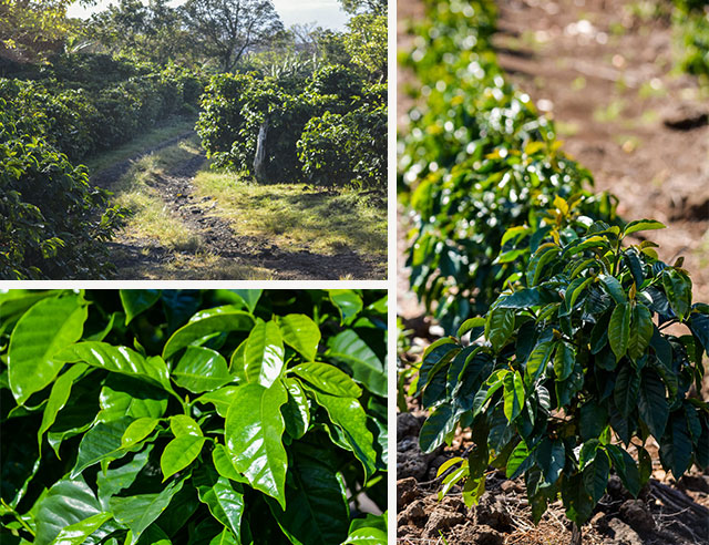 Rows of plants on coffee plantation