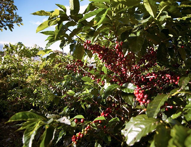Coffee plants with ripe coffee cherries