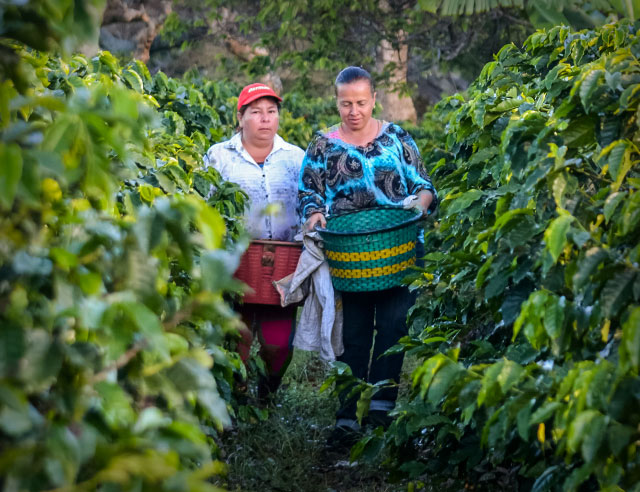 Two women coffee pickers in a coffee plantation